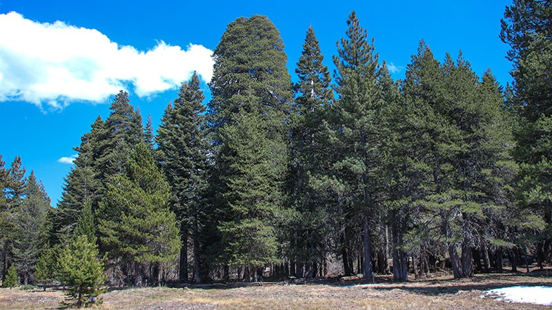 The Champion Lodgepole Pine in Big Bear