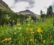 San Juan Mountains Wildflower Bloom