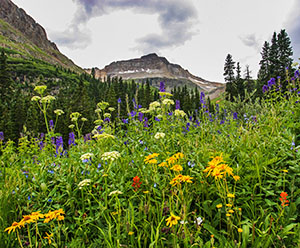 San Juan Mountains Wildflower Bloom