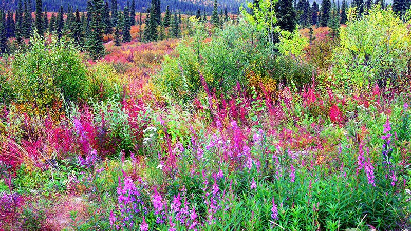 Typical Alaska wildflowers along Denali Hwy