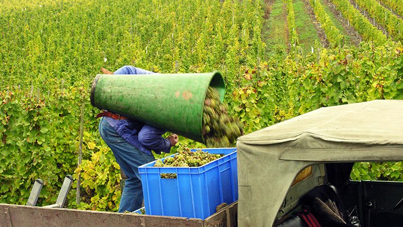 Hand harvesting grapes near Bernkastel