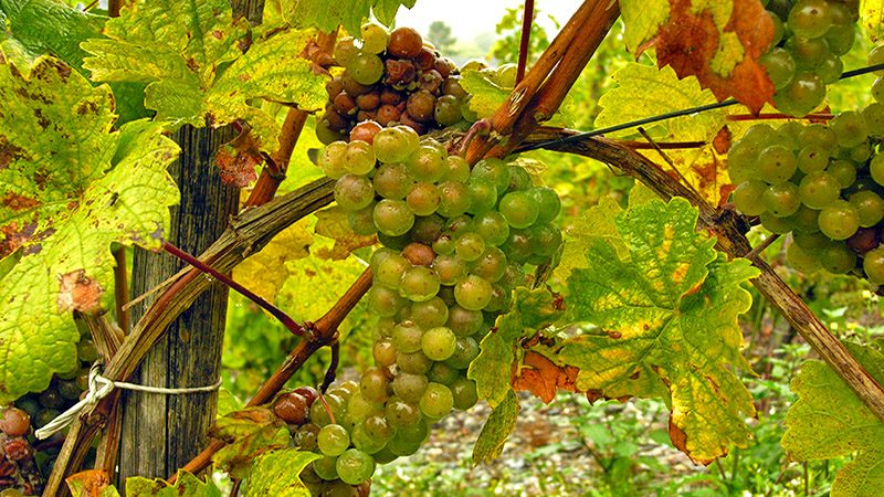 Riesling grapes ripe and ready to pick