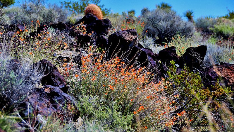 Desert wildflowers grow well in lava/basalt