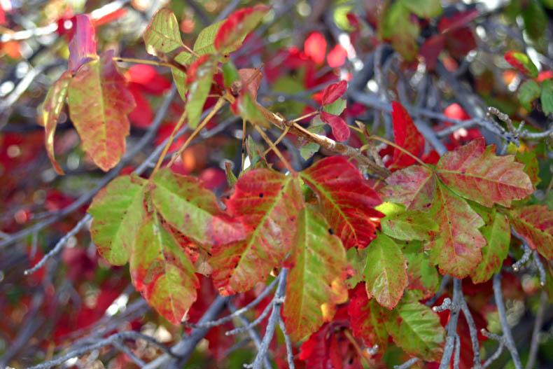 poison oak plant pictures. poison oak plant.